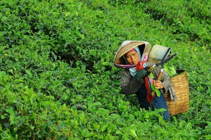 arbeiterin-auf-teeplantage